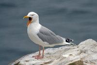 Herring Gull 01
