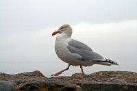 Herring Gull 02