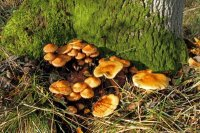 Honey Fungus 01
