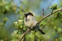House Sparrow 02