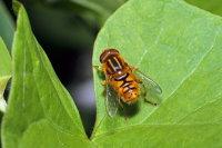 Hoverfly helophilus trivittatus 01