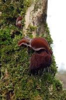 Jews Ear Fungus 01