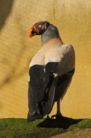 King Vulture 01