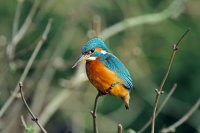Kingfisher 01