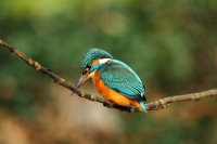 Kingfisher 03