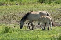 Konik Pony 01