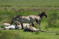 Konik Pony 03