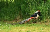 Lady Amhursts Pheasant 01