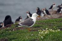 Lesser Black-backed Gull 01