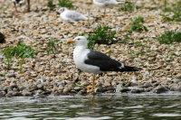 Lesser Black-backed Gull 02