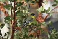 Lesser Goldfinch 01