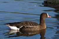 Lesser White-fronted Goose 01