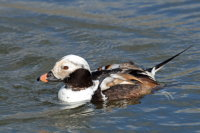 Long-tailed Duck 01