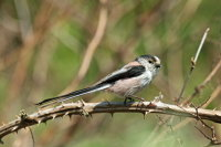 Long-tailed Tit 01