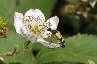 Longhorn Beetle 01
