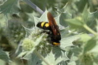 Mammoth Wasp 01