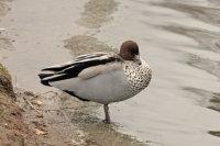 Maned Goose 01