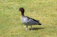 Maned Goose 02