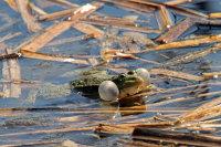 Marsh Frog 01
