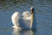 Mute Swan 01