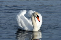 Mute Swan 03