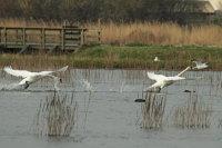 Mute Swan 05