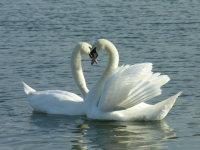Mute Swans 06