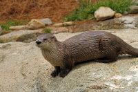 North American River Otter 01