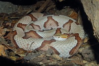 Northern Copperhead 01