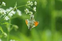 Orange Tip Mating 01