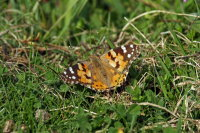 Painted Lady 03