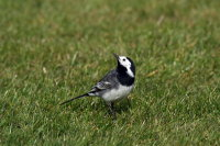 Pied Wagtail 01