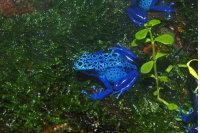 Poison-arrow Frog 01