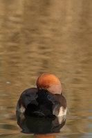 Red-crested Pochard 02