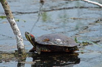 Red-eared Turtle 01