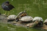 Red-eared Turtle 02
