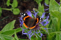 Red Admiral 01