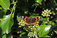 Red Admiral 02