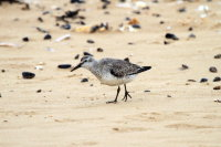 Red Knot 02