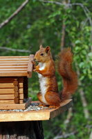 Red Squirrel 01