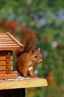 Red Squirrel 02