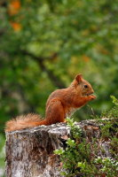 Red Squirrel 05