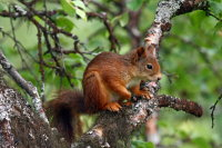 Red Squirrel 06