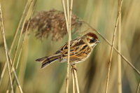 Reed Bunting 01
