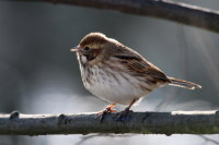 Reed Bunting 02