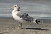 Ring-billed Gull 01