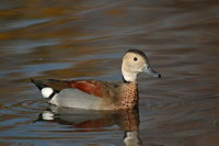 Ringed Teal 01