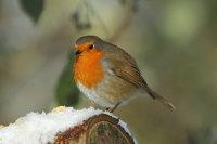 Robin 03