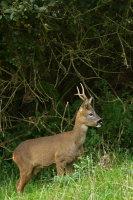 Roe Deer 01