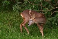 Roe Deer 02